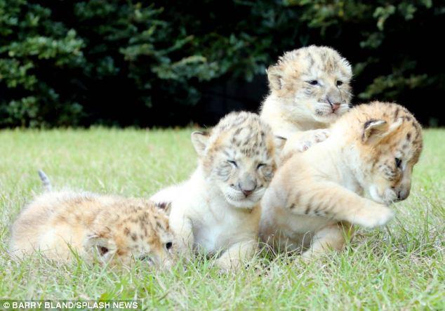 Un Leon blanco y una tigresa tuvieron bebes 07