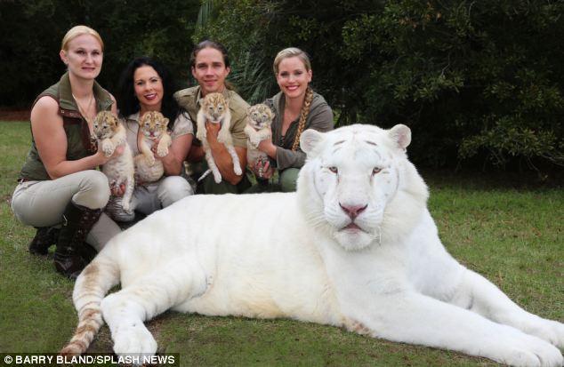 Un Leon blanco y una tigresa tuvieron bebes 08