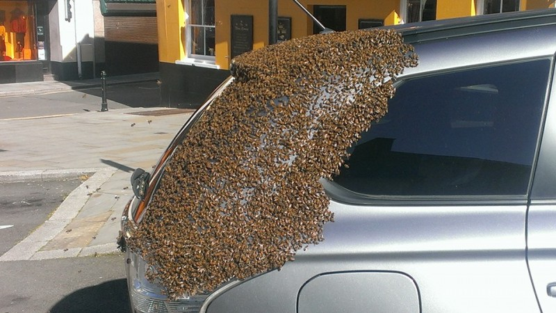 Durante dos dias este enjambre de abejas estuvo atacando su coche 01