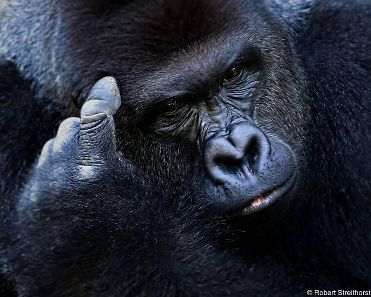 Estas 12 increíbles fotografías te mostrarán la vida del famoso Gorila Harambe. Sin palabras...