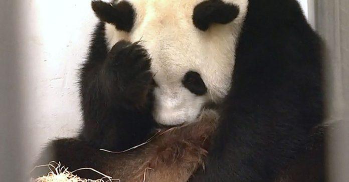 Este Panda estaba actuando de una manera muy extrana banner
