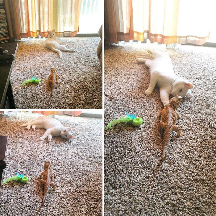 Este curioso gato se volvió el mejor amigo de un increíble dragón. Y ahora son inseparables