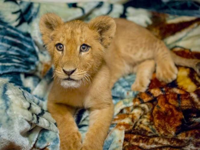 Este leon rescatado se niega a ir a ninguna parte sin su mantita 01