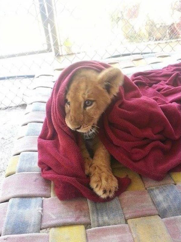 Este leon rescatado se niega a ir a ninguna parte sin su mantita 02