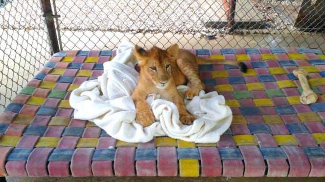 Este leon rescatado se niega a ir a ninguna parte sin su mantita 03