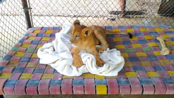 Este leon rescatado se niega a ir a ninguna parte sin su mantita 04