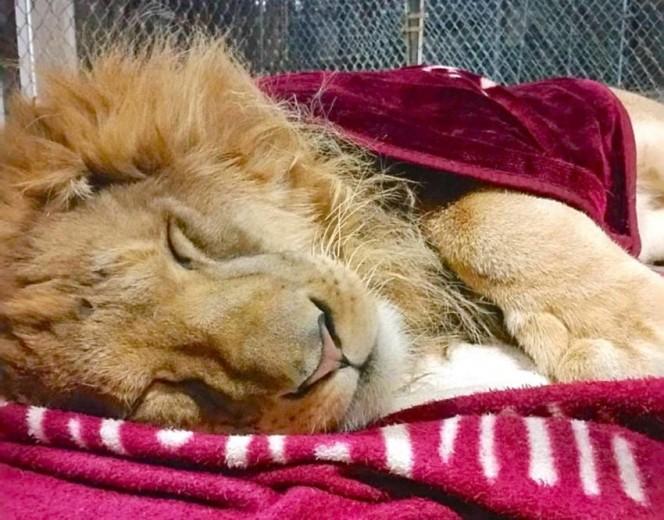 Este leon rescatado se niega a ir a ninguna parte sin su mantita 05