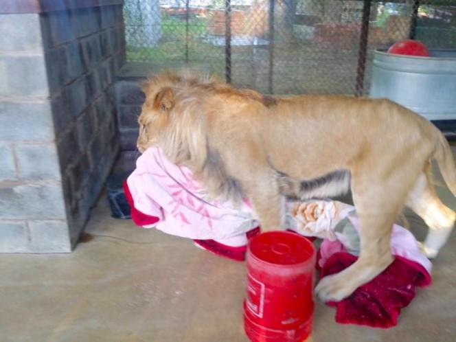 Este leon rescatado se niega a ir a ninguna parte sin su mantita 06