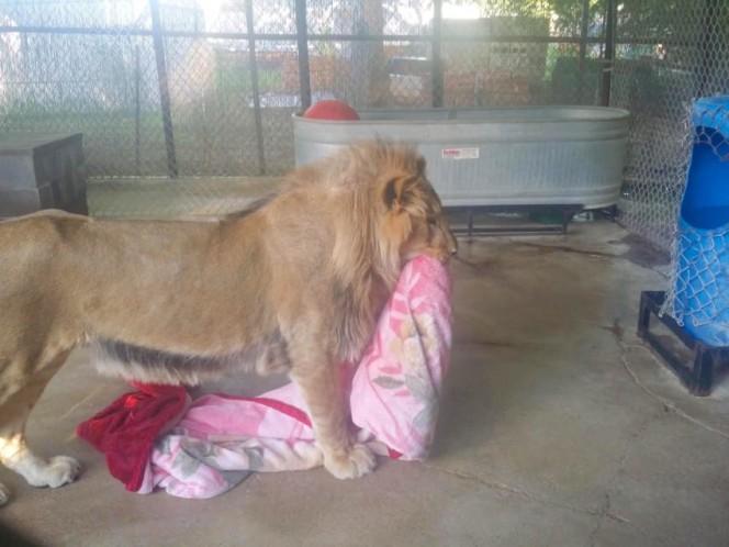 Este leon rescatado se niega a ir a ninguna parte sin su mantita 08