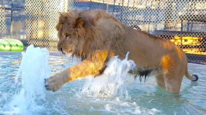 Este leon rescatado se niega a ir a ninguna parte sin su mantita 09