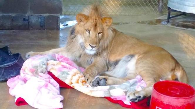 Este leon rescatado se niega a ir a ninguna parte sin su mantita 11