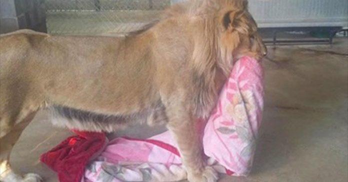Este leon rescatado se niega a ir a ninguna parte sin su mantita banner
