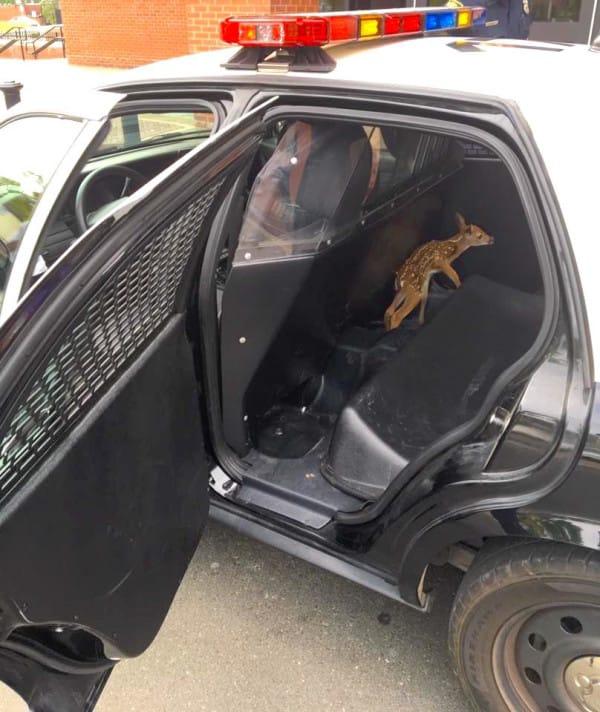 Rescataron a este pequeño cervatillo que perdió a su madre en un accidente de tráfico