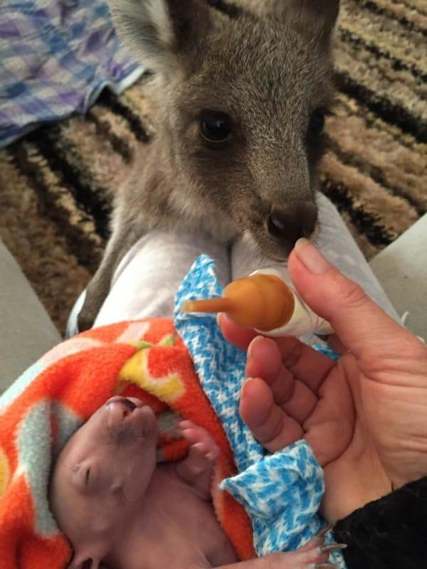 Canguro huérfano cuida de un bebé wombat como si fuera su hermano