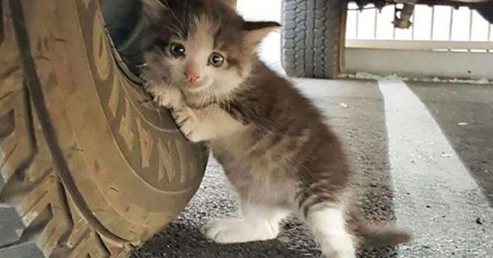 Se encontro a un aterrorizado gatito escondido bajo la rueda del camion banner