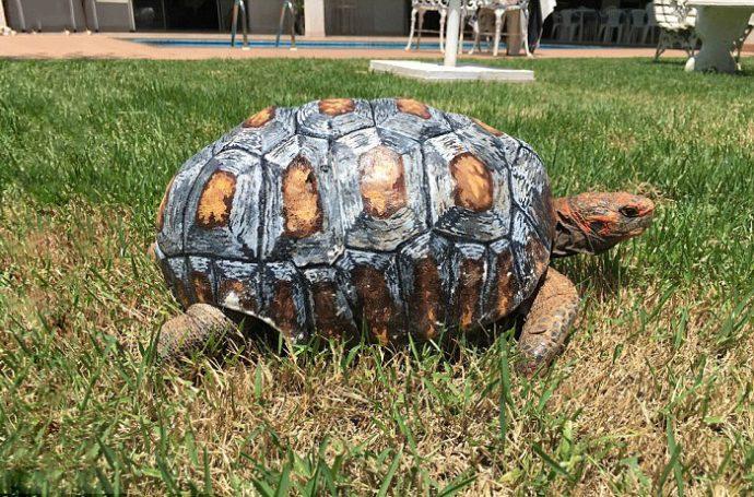 Crean el primer caparazón 3D para una tortuga herida en un incendio