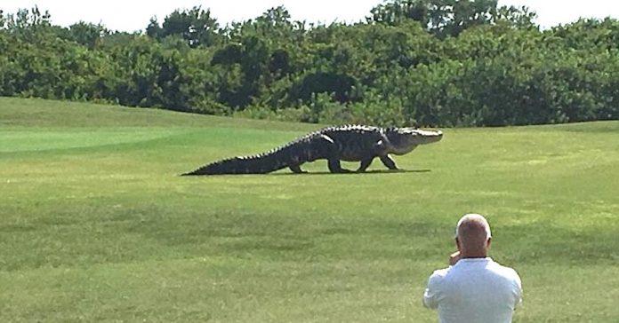 monster alligator