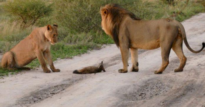 Dos leones se encontraron con un zorro herido banner