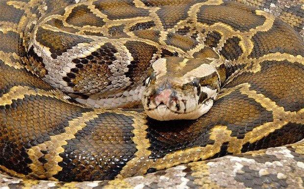 Una chica que dormía todas las noches con su serpiente pone patas arriba Internet después de que dejase de comer