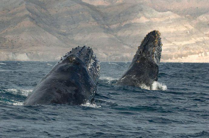 se paso 25 anos tratando de capturar la increible belleza de estas ballenas y delfines pero finalmente 1467986784
