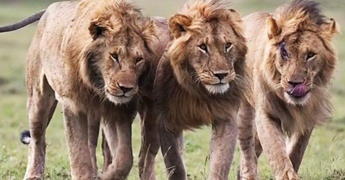 3 leones encontraron una nina pequena pero nunca imaginaras lo que hicieron con ella banner
