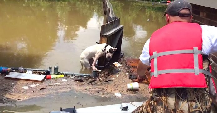 Este heroe diviso a lo lejos un pobre Pit Bull que habia estado atrapado por la inundacion banner