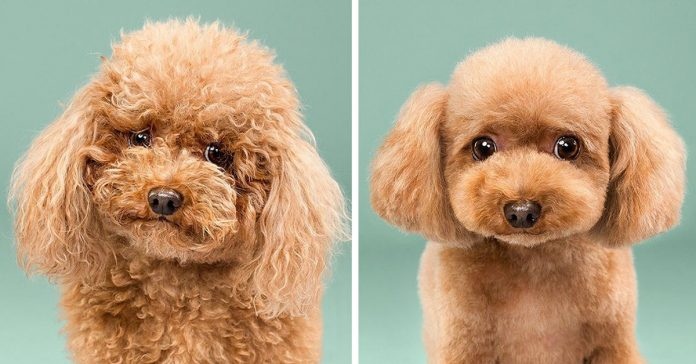 No te pierdas estas imagenes de cachorros antes y despues de su corte de pelo banner