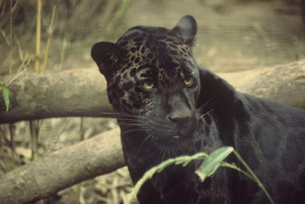 Ver nadar a este jaguar en el Amazonas es simplemente maravilloso