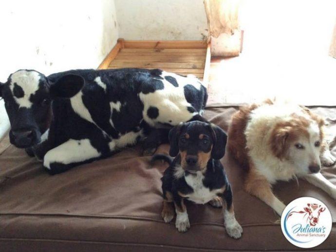 Un cachorro abandonado se hace amigo de un ternero y consiguen superar juntos su triste pasado
