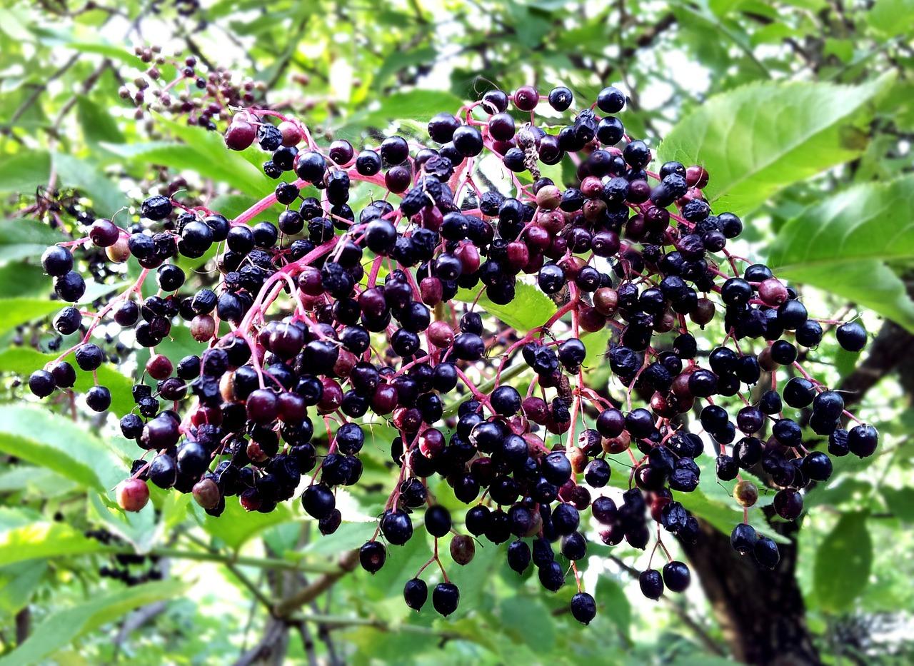 elderberries photo