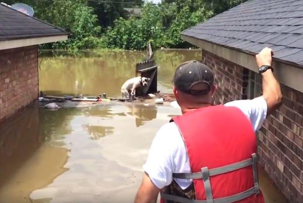 Este héroe divisó a lo lejos un pobre Pit Bull que había estado atrapado por la inundación. Espera a ver lo que ocurre cuando llega...