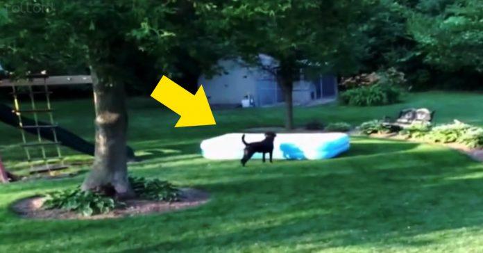 este labrador negro corre con una piscina en su cabeza