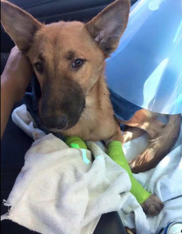 Este perro consigue unas prótesis para sus patas después de ser brutalmente herido
