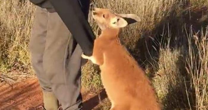 kangaroo rescuer ds 1