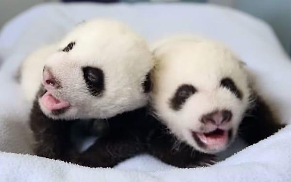 Esta mamá Panda da a luz por primera vez a unos increíbles Gemelos en Atlanta