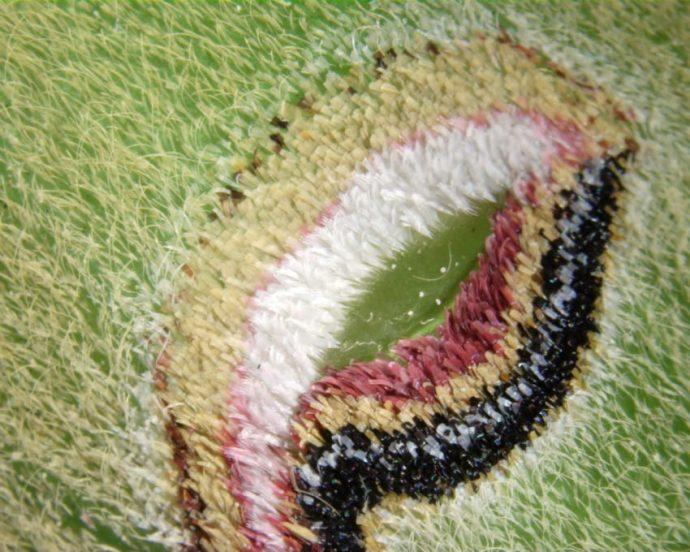 Las alas de esta mariposa nocturna son una auténtica preciosidad, solo hace falta fijarse bien en ellas