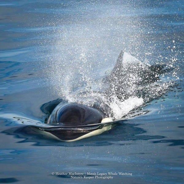 Esta fotógrafa capturó a la orca más vieja del mundo y descubrió lo preciosa que es