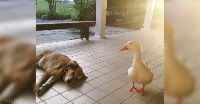 perro desolado encuentra felicidad pato blanco