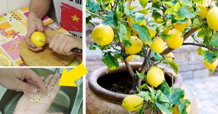 planta tu limonero a partir de las semillas de un limon