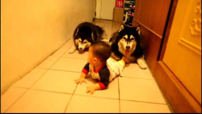 Todos hemos visto algún bebé gateando, ¡Pero atento a lo que hacen los perros!