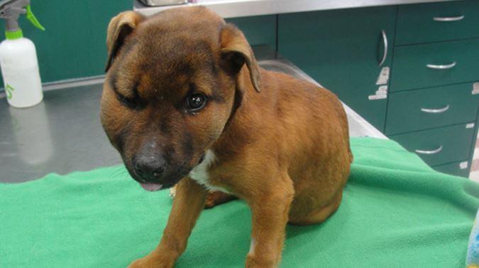 Un cruel adolescente dejó a este cachorrito con tres patas rotas, 11 fracturas y ahora están haciendo todo lo posible por salvarlo