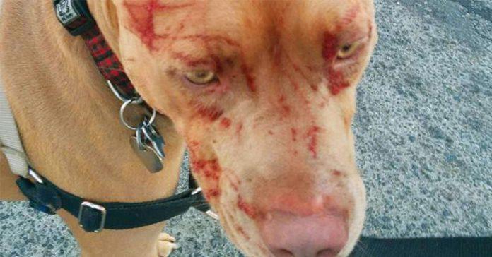 un gato salvaje ataca a siete pitbulls dejando a uno aranado y sangriento banner
