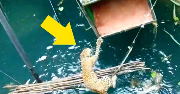 un poblado indio rescata a un leopardo de morir ahogado banner
