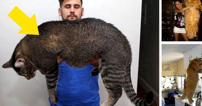 20 gigantescos gatos