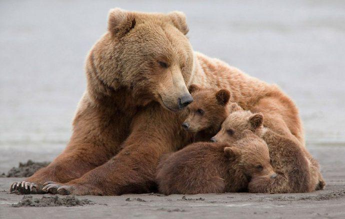 21 fascinantes imágenes de Mamás Oso con sus pequeños oseznos que te derretirán el corazón