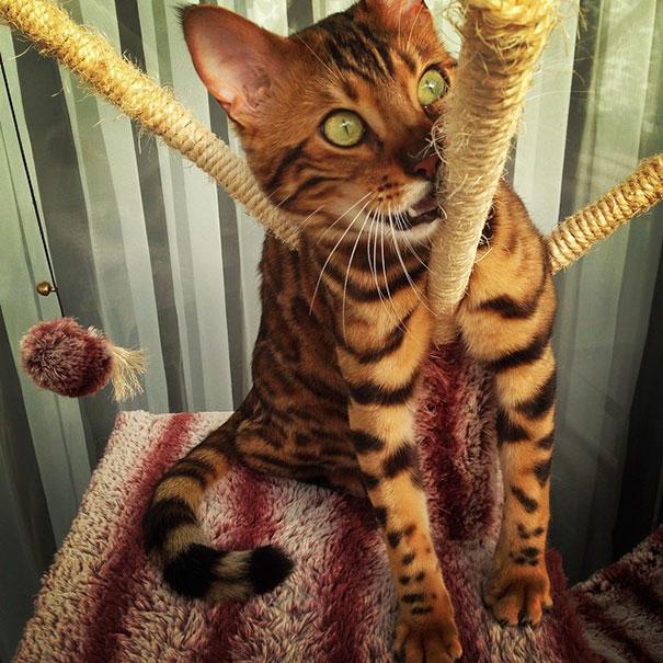 Conoce a Thor, este fascinante gato Bengala que tiene la piel más increíble que hayas visto nunca