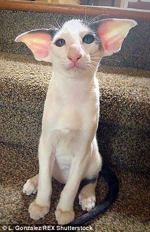 Descubre al inusual gato que se ha convertido en famoso por su peculiar aspecto de película