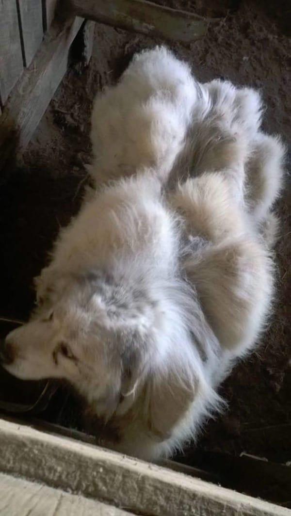 Lázaro: El perro que fue abandonado en un granero con más de 20kg de pelo
