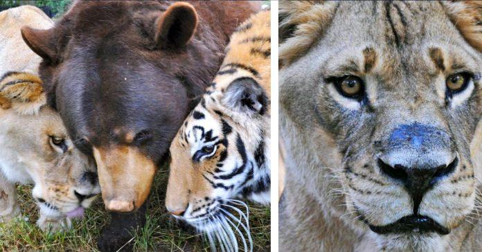 leo el leon deja a sus hermanos despues de 15 anos tras ser rescatado de un traficante de drogas banner