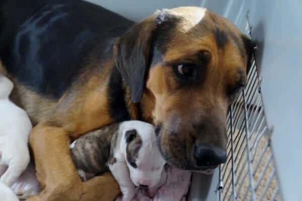Esta perrita estaba a punto de ser sacrificada pero adoptó a 5 cachorros de Pit Bull